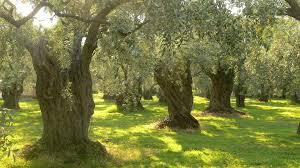 Spanyol olívaolaj